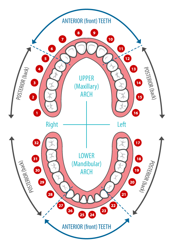 dental chart and common terminology